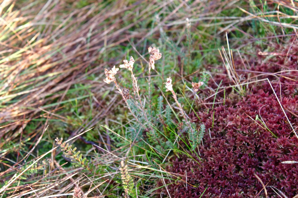 Red sphagnum and (I think) a type of heather called Erica tetralix